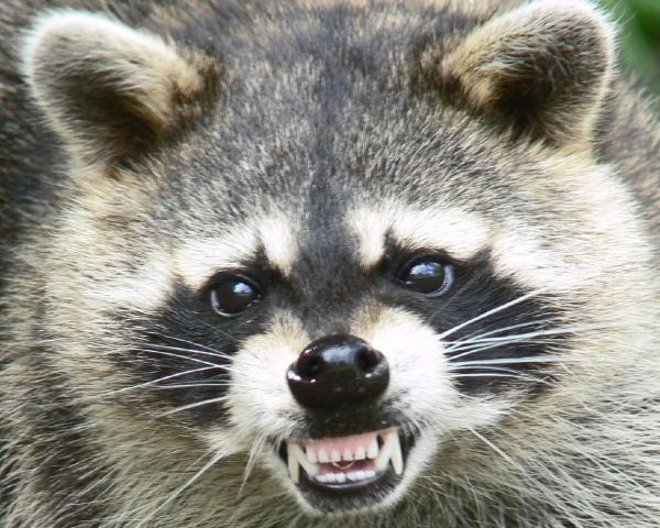 wpid-Raccoon-Procyon-lotor-animal-wild-nature-3